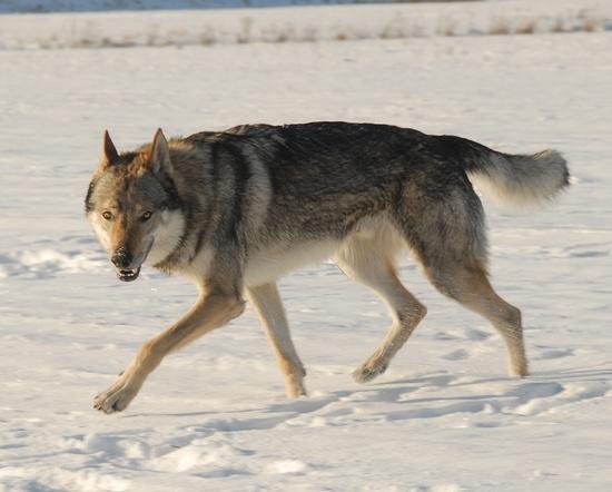 Ceskoslovensky vlcak, czechosłowacki wilczak, czechoslovakian wolfdog